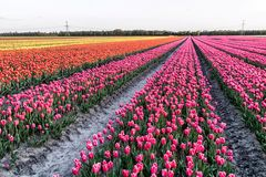 Un champ avec des tulipes dans le nord des Pays-Bas Photos stock