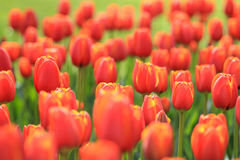 Un champ complètement des tulipes rouges jaunes image stock