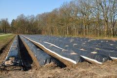 Un champ d'asperge toujours avant le fourgon Twente de Hof de récolte en mars photographie stock libre de droits