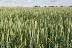 Un champ de blé énorme près du village photos libres de droits