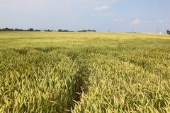 Un champ de blé Photo stock