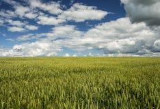 Un champ de blé Image stock