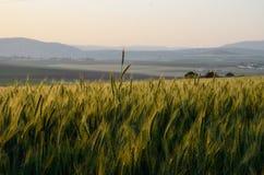Un champ de blé avec le bâti Tavor Image libre de droits