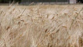 Un champ de blé en été banque de vidéos