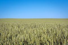 Un champ de blé plat avec des épillets contre un ciel bleu clair images stock