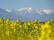 Un champ de cozla, avec la montagne à l'arrière-plan Photographie stock libre de droits