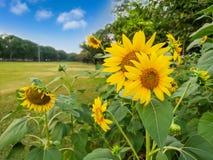 Un champ de fleur de tournesol dans un jardin, les pétales jaunes de la tête de fleur a écarté et fleurissant au-dessus des arbre images libres de droits