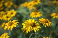 Un champ de jaune fleurit des marguerites image libre de droits