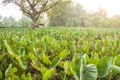 Un champ de l'élevage d'usines de taro. Photo libre de droits