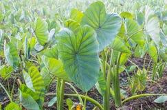 Un champ de l'élevage d'usines de taro. Image stock