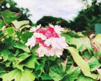 Un champ de la floraison blanche et rose de fleurs de hybrida de verveine photo libre de droits