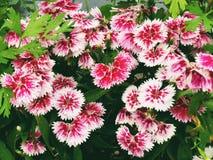 Un champ de la floraison rouge-rose de fleurs d'oeillet photo stock
