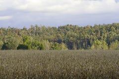 Champ de maïs Photographie stock libre de droits