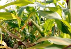 Un champ de maïs d'alimentation Photographie stock libre de droits