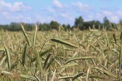 Un champ de seigle et d'orge Maturation du secteur agraire de future récolte de l'industrie agricole Ferme d'usine Élevage de Photographie stock libre de droits