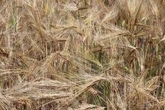 Un champ de seigle et d'orge Maturation du secteur agraire de future récolte de l'industrie agricole Ferme d'usine Élevage de Photo stock