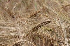 Un champ de seigle et d'orge Maturation du secteur agraire de future récolte de l'industrie agricole Ferme d'usine Élevage de Image stock