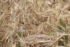Un champ de seigle et d'orge Maturation du secteur agraire de future récolte de l'industrie agricole Ferme d'usine Élevage de Photo libre de droits