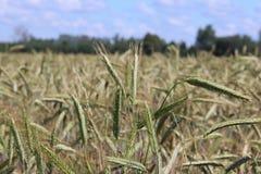 Un champ de seigle et d'orge Maturation du secteur agraire de future récolte de l'industrie agricole Ferme d'usine Élevage de Images stock