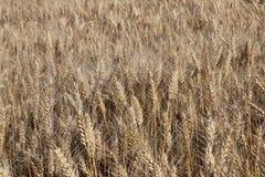 Un champ de seigle et d'orge Maturation du secteur agraire de future récolte de l'industrie agricole Ferme d'usine Élevage de Photos stock