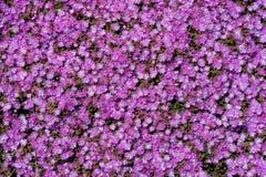Un champ des fleurs pourpres, asters photographie stock