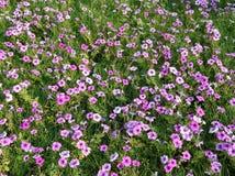 Un champ des fleurs roses Photos stock