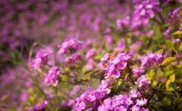Un champ des fleurs roses de jardin photographie stock
