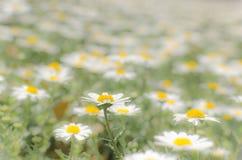 Un champ des marguerites de floraison dans le bas contraste Photos stock