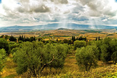 Un champ des oliviers sous un ciel nuageux avec un éclat du soleil Image libre de droits