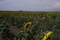 Un champ des tournesols jaunes et du ciel bleu Photographie stock libre de droits