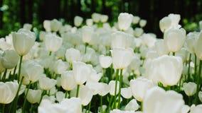 Un champ des tulipes blanc blanc Bel éclairage devant le coucher du soleil, un paysage apaisant Image stock