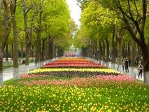 Un champ des tulipes colorées fleurissant entre les arbres de camphre en premier ressort Photographie stock libre de droits