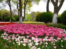 Un champ des tulipes colorées fleurissant entre les arbres de camphre en premier ressort Images stock