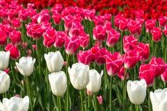 Un champ des tulipes rouge-rose et blanches Fleur de source Photographie stock libre de droits
