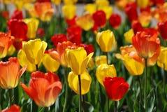 Un champ des tulipes rouges et jaunes au printemps photos libres de droits