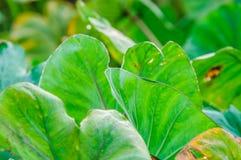 Un champ des usines de taro (feuilles de vert) Photographie stock