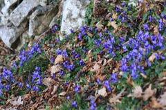 Un champ des violettes Photographie stock
