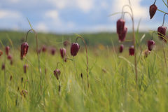 Un champ du snake& rouge x27 ; têtes de s et x28 ; Meleagris& x29 de Fritillaria ; avec la profondeur du champ Images stock