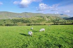 Un champ en Irlande avec frôler des moutons Photographie stock