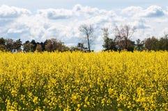 Un champ jaune pendant l'?t? image libre de droits