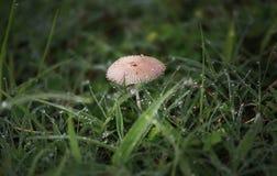 Un champignon blanc et les baisses du matin mouillent Images stock
