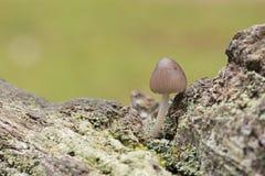 Un champignon minuscule image stock