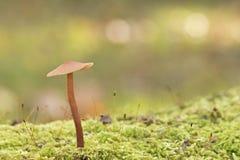 Un champignon minuscule image libre de droits