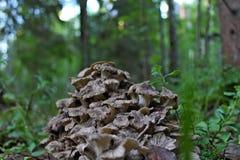 Un champignon rare et comestible est un mouton Image stock