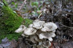 Un champignon rare et comestible est un mouton Image libre de droits