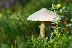 Un champignon sauvage se développe dans la forêt parmi la mousse et l'herbe avec des fleurs Une maison fabuleuse pour des insecte Photo libre de droits