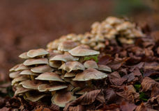 Un champignon sur une couche de feuilles Image libre de droits
