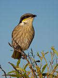 Un chant Honeyeater Photos stock