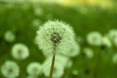 Un chapeau blanc rond de pissenlit dans la perspective des gras verts Photographie stock libre de droits
