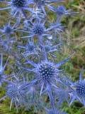 Un chardon bleu intense d'améthyste photos libres de droits